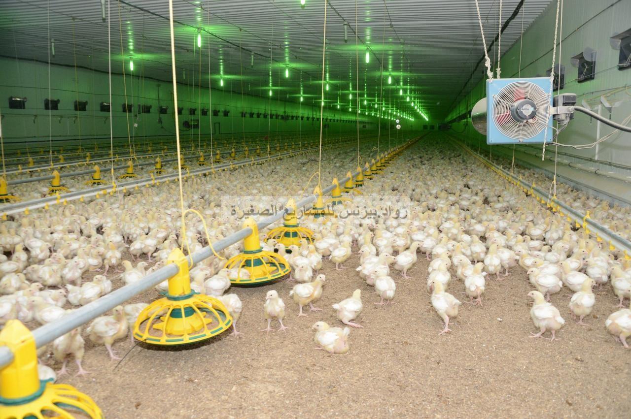 هل تجارة الدجاج مربحة