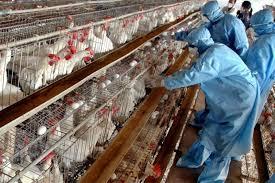 مصانع الدجاج في تركيا