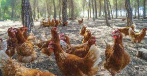 دراسة جدوى مشروعتربية الدجاج البلدي